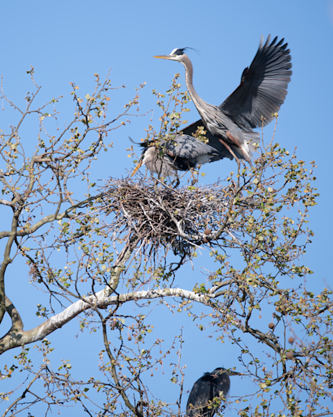 Male Heron Approaching The Nest Photography Art | Eric Hatch