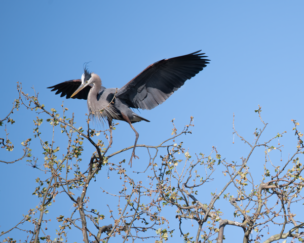 Heron Approaching Nest Photography Art | Hatch Photo Artistry LLC