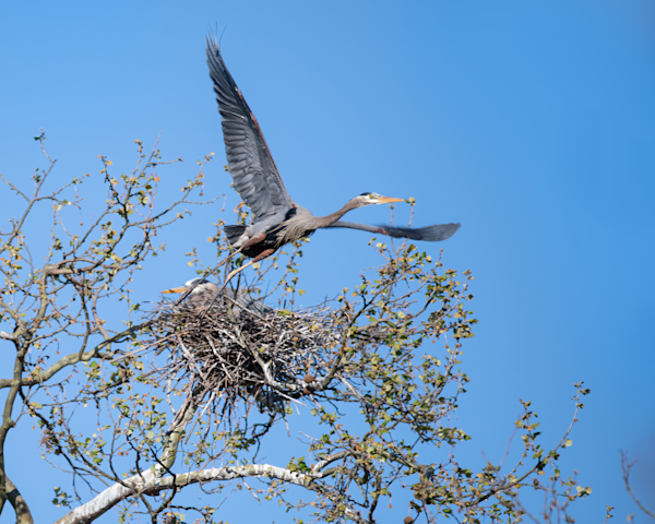 Male Heron Leaving Nest  Photography Art | Eric Hatch