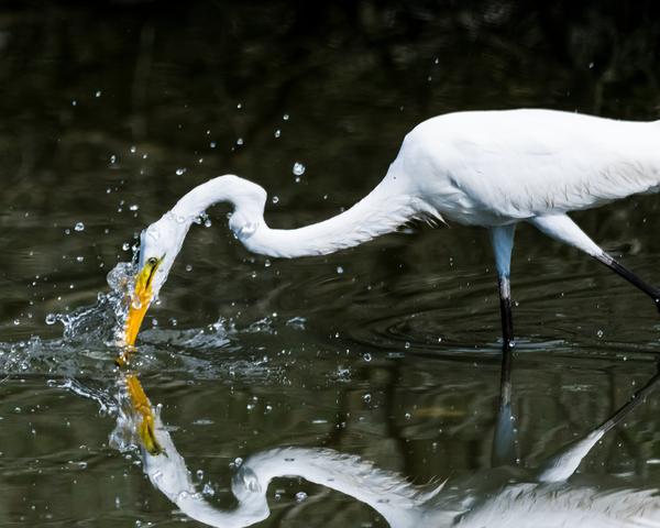 Egret Strikes! Photography Art | Hatch Photo Artistry LLC