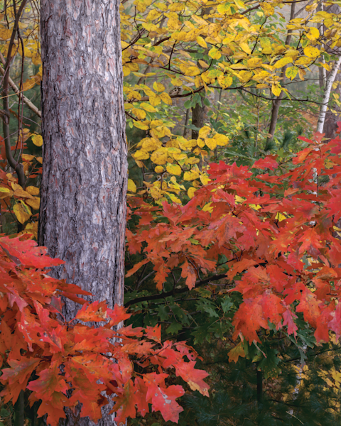 Fine Art Print | Autumn Dance of Oak And Elm