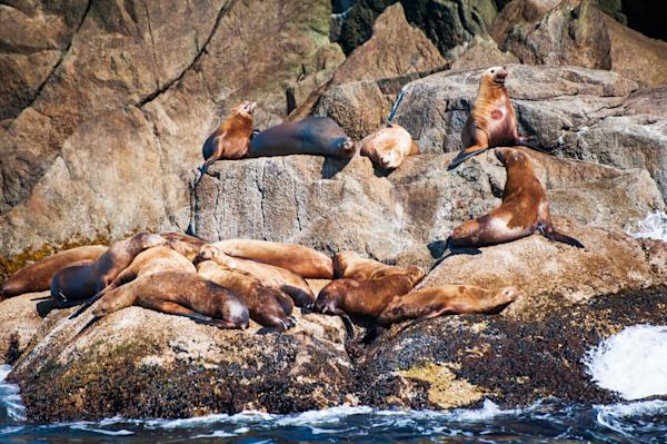 Basking Steller Sea Lions 2 Photography Art | Hatch Photo Artistry LLC