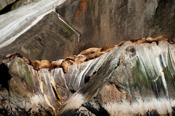 Basking Steller Sea Lions Photography Art | Hatch Photo Artistry LLC