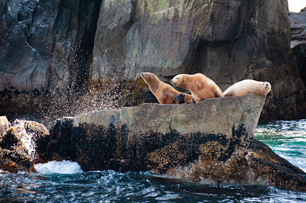 Steller Sea Lions Larry Curly And Mo 1 Photography Art | Hatch Photo Artistry LLC