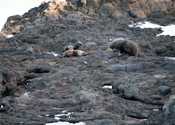 Watchful Fur Seal Mom And Pups  Photography Art | Hatch Photo Artistry LLC