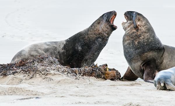 Hooker Sea Lions 1 Photography Art | Hatch Photo Artistry LLC