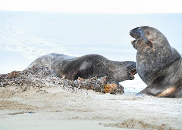 Hooker Sea Lions Competing Photography Art | Hatch Photo Artistry LLC