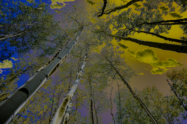 Sky And Towering Trees Merch Photography Art | Silver Spirit Photography