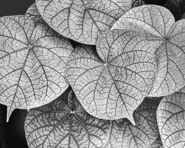 Leaves Of The Sea Grape Black And White Photography Art | Robert Vielee Photography