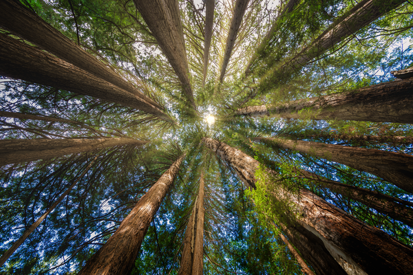 Print Art Roys Redwood Preserve California Redwood Circle