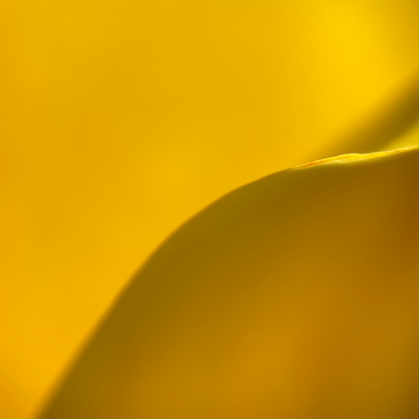 A Yellow Tulip's Nod to Amanda Gorman's Poem