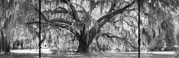 Ladys Island Oak