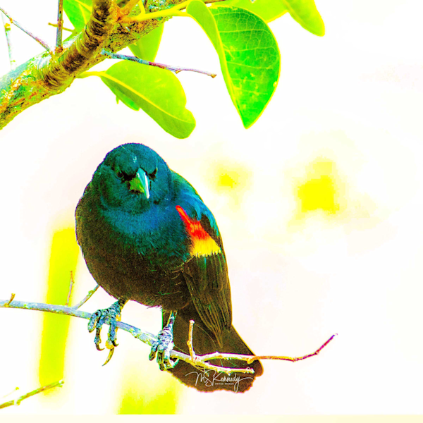 Red Winged Black Bird  Art   Cutlass Bay Productions, LLC