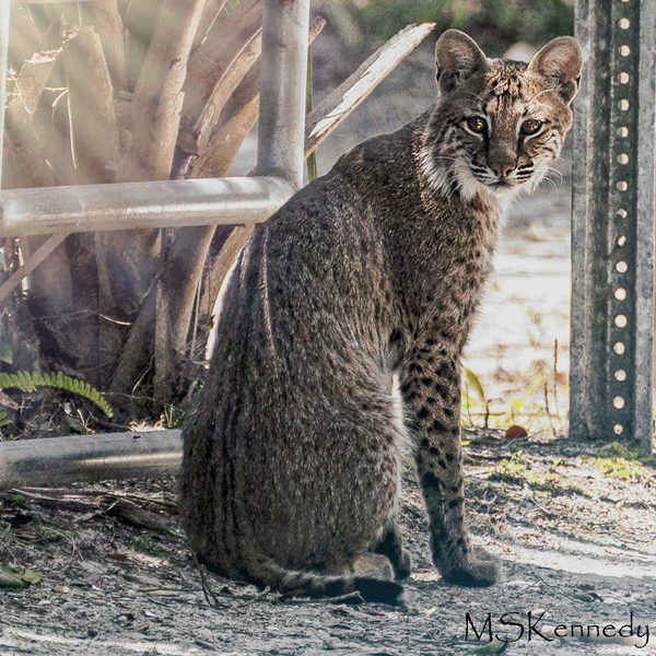 Curious Bobcat Art | Cutlass Bay Productions, LLC