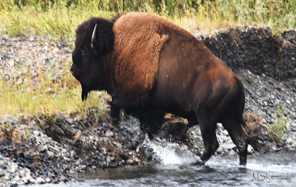 Buffalo Crossing River Art | Cutlass Bay Productions, LLC