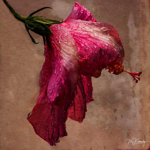 Wet Hibiscus  Art | Cutlass Bay Productions, LLC