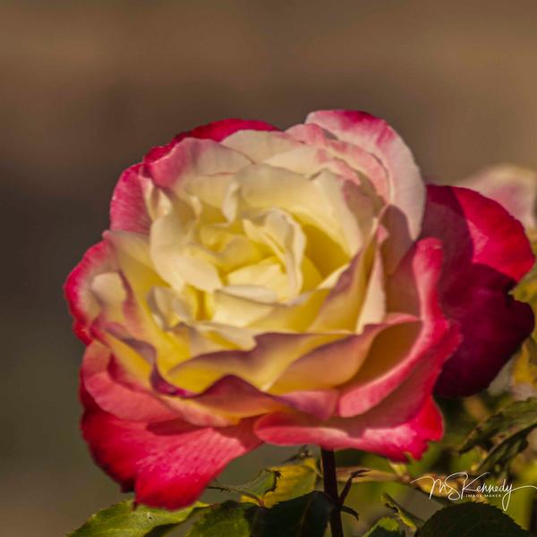 Red White Rose Art | Cutlass Bay Productions, LLC