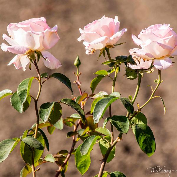 The Three Roses Art | Cutlass Bay Productions, LLC
