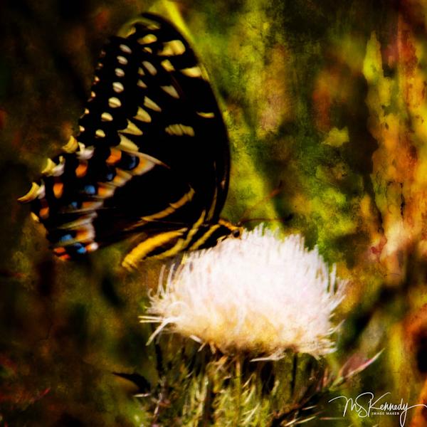 Swallow Tail Butterfly Art | Cutlass Bay Productions, LLC