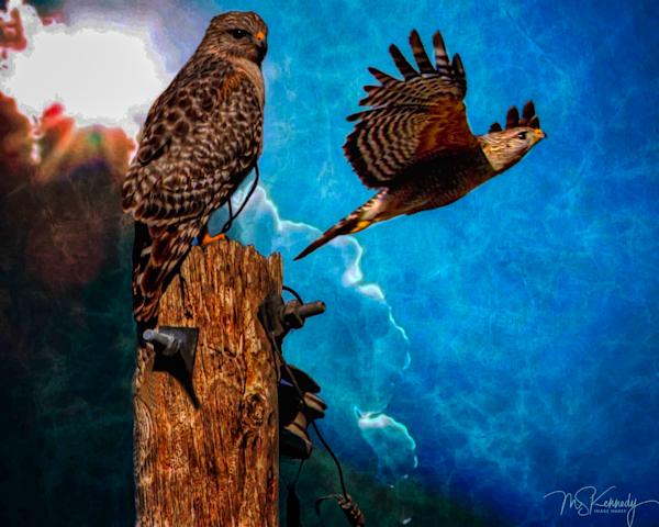 Two Red Shouldered Hawks Art | Cutlass Bay Productions, LLC