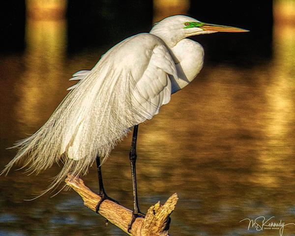Standing White Heron Art   Cutlass Bay Productions, LLC