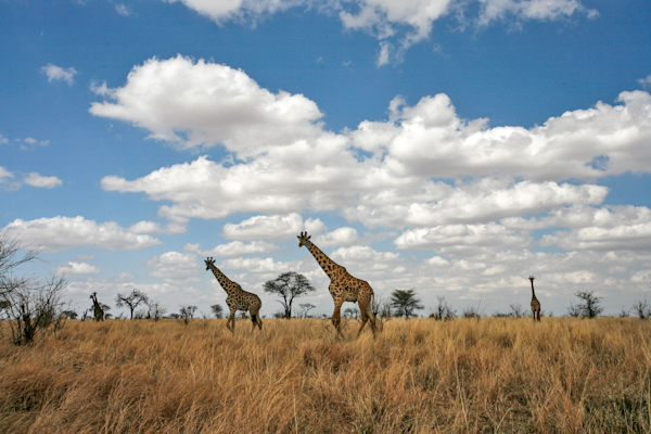 Giraffe landscape on the Mara Plains