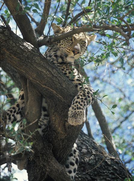 Leopard Tanzania looking down from tree limb