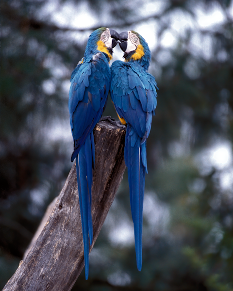 Blue macaws Oakland zoo pair kissing
