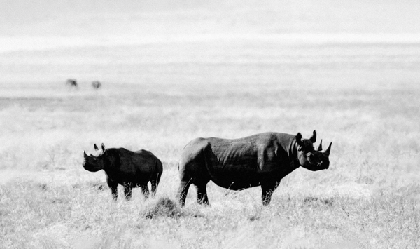 rhino mother and baby in Ngorongoro Crater, Tanzania in black and white