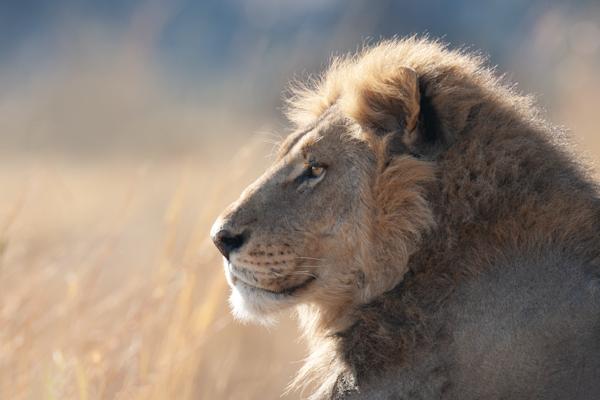 male lion profile gold blue