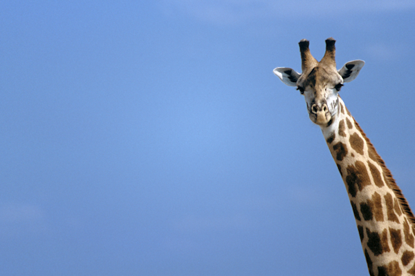 Giraffe peering blue sky