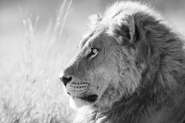 male lion profile black & white
