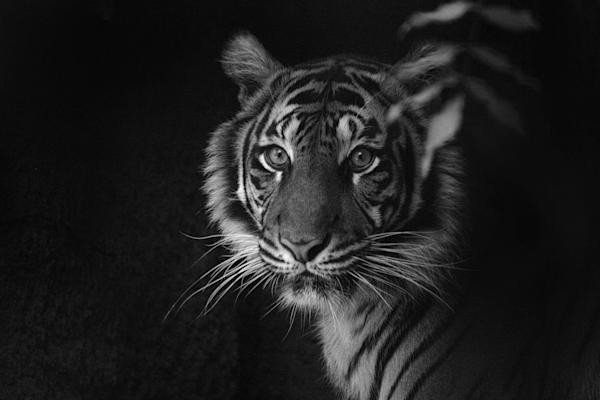 Tiger closeup, gaze in B&W, tiger zoo black & white portrait