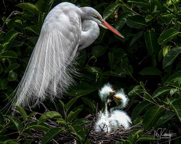 Great Egret With Chicks Art   Cutlass Bay Productions, LLC