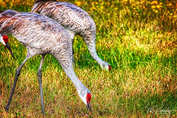 Feeding Sandhill Cranes Art   Cutlass Bay Productions, LLC