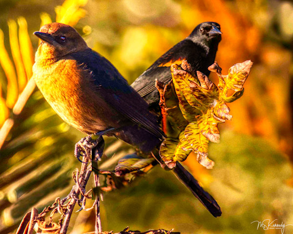 Female Grackle And Red Winged Black Birds  Art   Cutlass Bay Productions, LLC