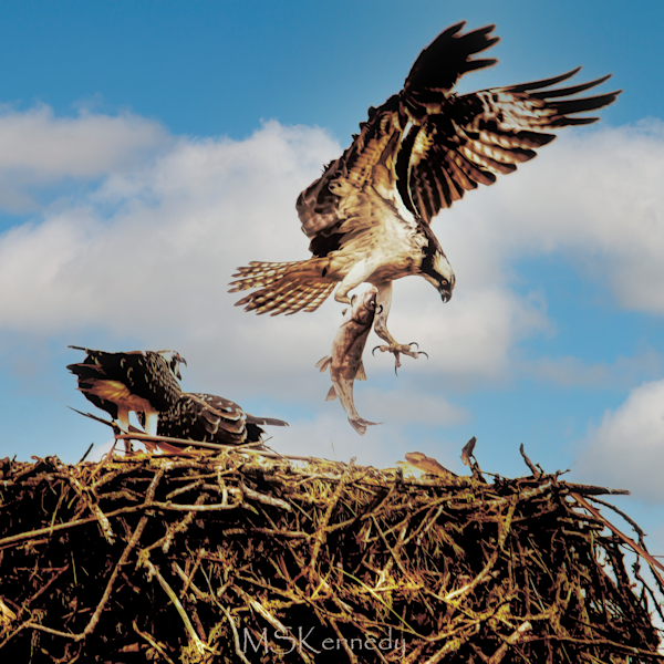 Hovering Osprey With Fish Art   Cutlass Bay Productions, LLC