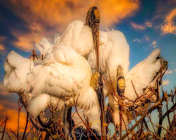 Wood Stork Trio Art | Cutlass Bay Productions, LLC