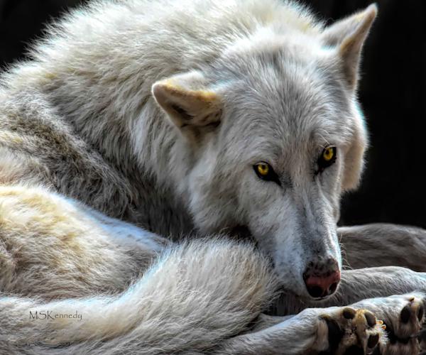 Resting Wolf Art | Cutlass Bay Productions, LLC
