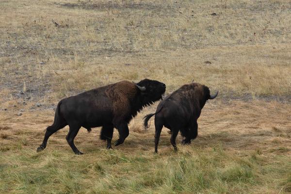 Two Buffalo  Art | Cutlass Bay Productions, LLC