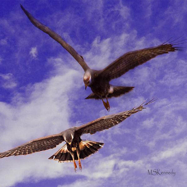 Snail Kites Art | Cutlass Bay Productions, LLC