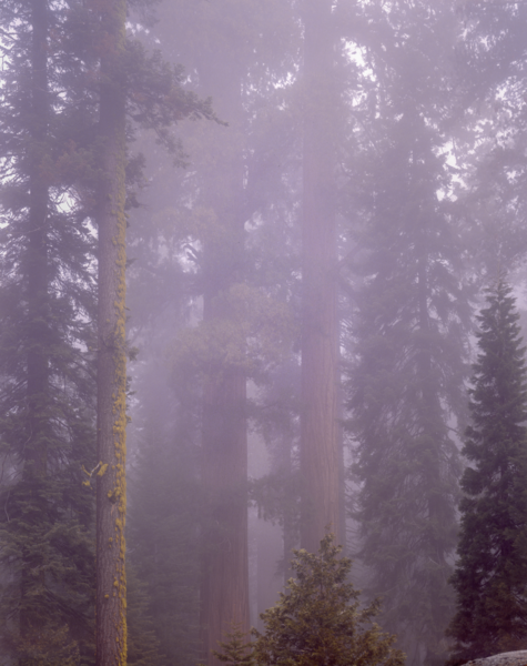Redwoods In The Mist Photography Art | Robert Vielee Photography