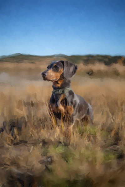 Dachshund In A Field  Art   Windhorse