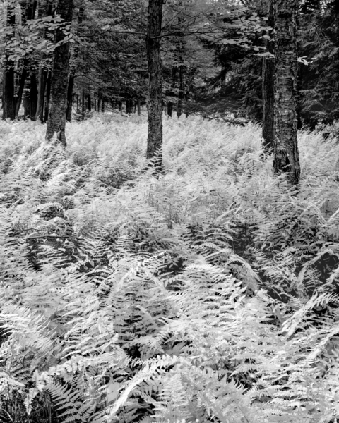 Ferns In Autumn White Blanket Promised Land State Park Photography Art | Robert Vielee Photography