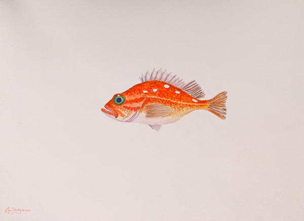 """""""Out Of His Element""""   Scarlet Rockfish Art   Drawn To Nature"""