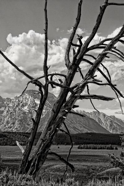 Tree Of Teton  Photography Art   Alina Marin-Bliach Photography/alinabstudios LLC