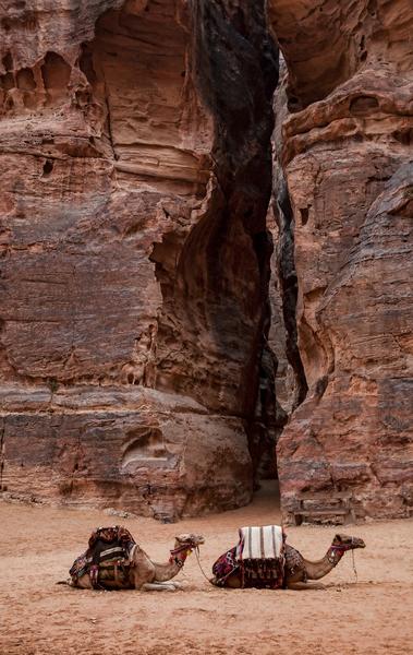 Camels At Petra Photography Art | Alina Marin-Bliach Photography/alinabstudios LLC