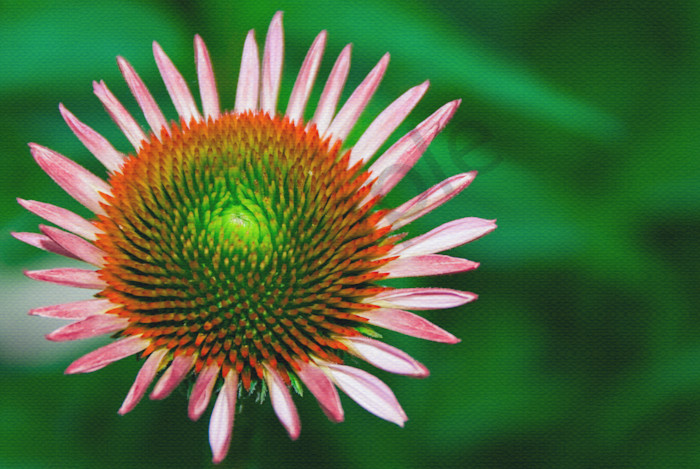 Cone Flower Nature Photo Wall Art by Nature Photographer Melissa Fague