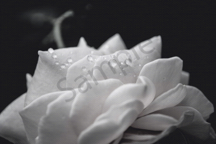 Delicate Rose Black and White Nature Photo Wall Art by Nature Photographer Melissa Fague