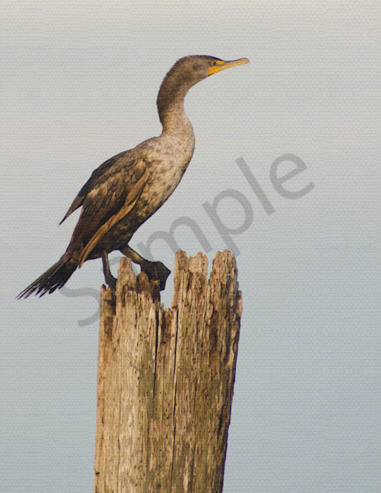Double Crested Cormorant in the Sunset Wildlife Photo Wall Art by Nature Photographer Melissa Fague